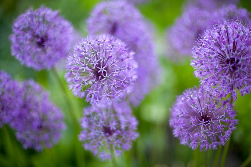 hampshire-garden-design-alliums